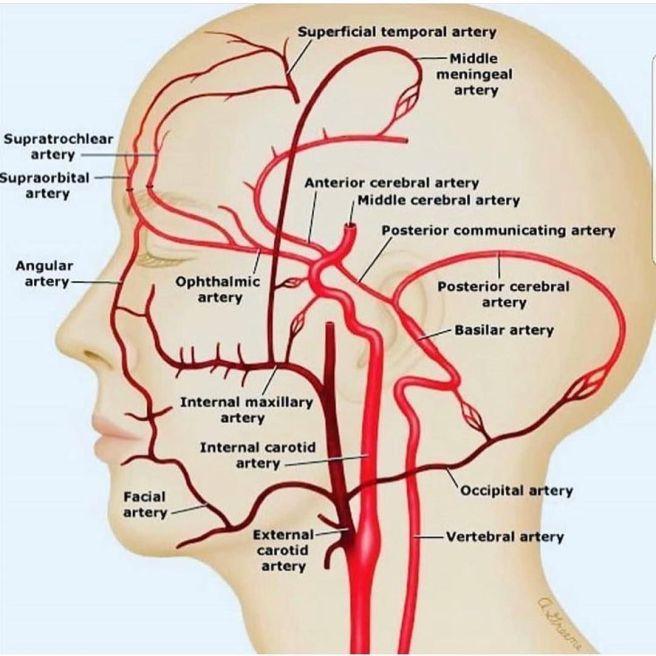 brain_arteries